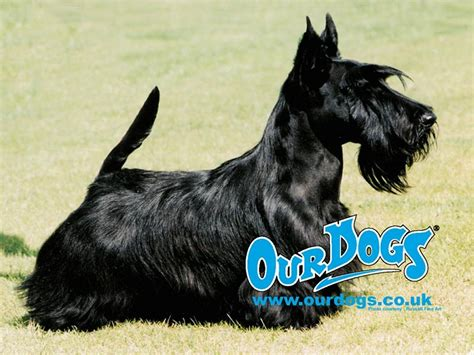 wallpapers nature wallpaper scottish terrier