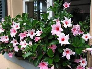 Pflegeleichte Zimmerpflanzen Mit Blüten : dipladenia ist eine robuste pflegeleichte pflanze die sich hervorragend f r gef sse eignet ~ Eleganceandgraceweddings.com Haus und Dekorationen