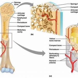 Structures Of A Long Bone To Label