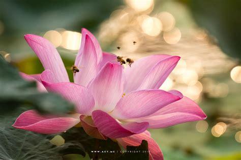 Nelumbo nucifera or Lotus บัวหลวง