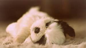 Download Wallpaper 1366x768 Cute Shih Tzu, dog lying HD ...