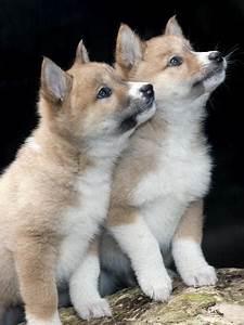 dingo-pups | Tumblr