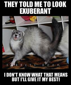 1000+ images about Ferrets on Pinterest | Theater, Rudyard ...