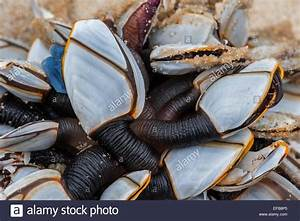Common goose barnacles / pelagic gooseneck barnacle ...