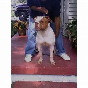 extreme bully dog kennels american pit bull terrier With extreme dog kennels