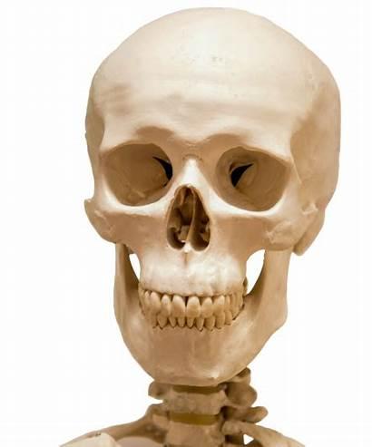 Skull Skeleton Head Pluspng Clip Funny Transparent