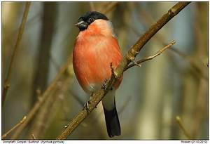Vogel Mit Roter Brust : dompfaff amsel drossel fink und star v gel tiere und heimische v gel ~ Eleganceandgraceweddings.com Haus und Dekorationen