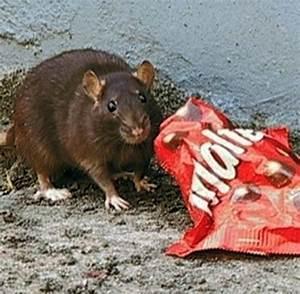 Wie Vertreibt Man Ratten : biologie ratten und m use bevorzugen fast food welt ~ Eleganceandgraceweddings.com Haus und Dekorationen