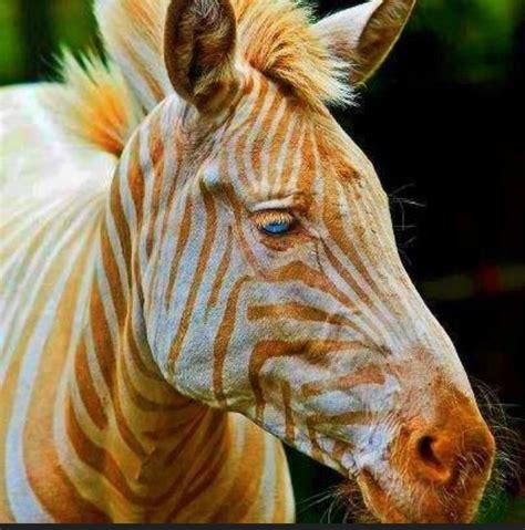 zebra animals rare golden zoe born eyes hawaii albino known exotic gold wild creatures stripes captive existence unusual