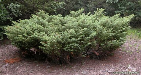 juniper bush shrubs of wisconsin juniperus communis common juniper