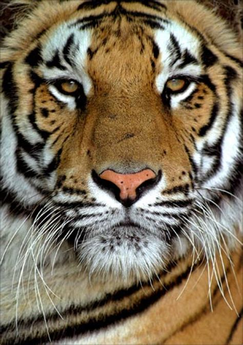 tigers die  kanha toll  mp   year reaches