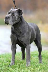 cane corso (Italian Mastiff) | Mastiffs | Pinterest