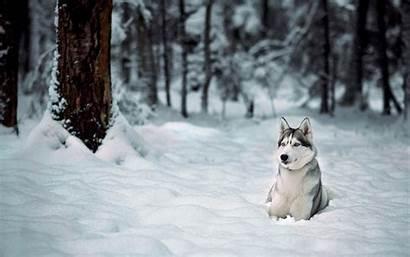 Snow Winter Animals Husky Dog Siberian Wallpapers