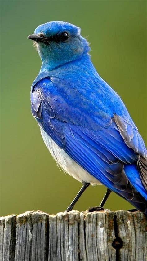 🥇 Birds Bluebirds Wallpaper 24032