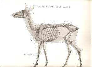 Deer Anatomy Photo By Stefer Photobucket