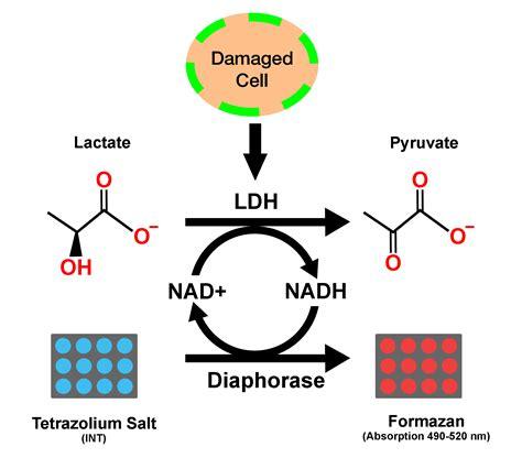 LDH Cytotoxicity Assay Kit Colorimetric - Cepham Life ...