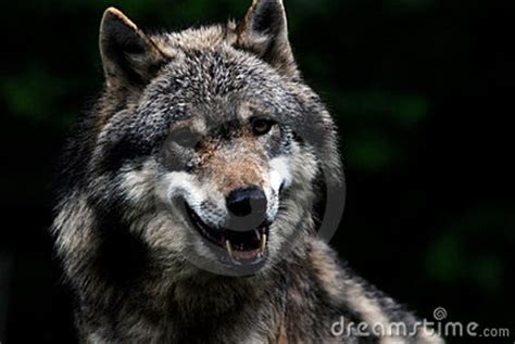 wolf leader stock  image