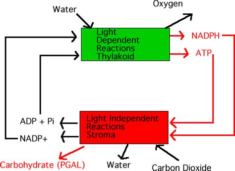 dependent definition photosynthesis light dependent reactions diagram all Light