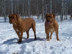 Dog De Bordeaux French Mastiff