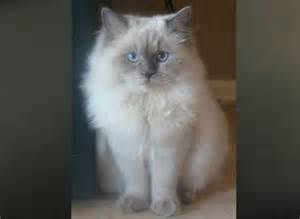 ragamuffin cat ragamuffin cat vs ragdoll images