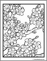 Blossom Cherry Coloring Pages Adult Flower Flowers Blossoms Japanese Adults Tree Printable Colouring Books Drawing Patterns Pdfs Customize Colorwithfuzzy Mandala sketch template