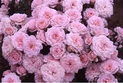 Roses Rose Pink Flowers Background Header Backgrounds