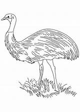 Emu Bird Flightless Pages Coloring sketch template