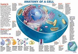 Infographic  Anatomy Of A Cell