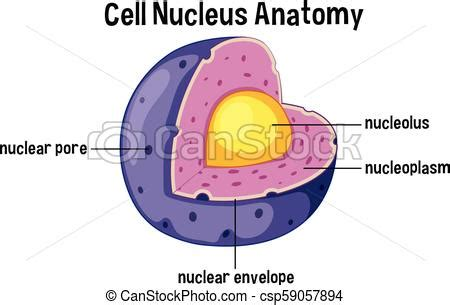 cell nucleus anatomy diagram illustration