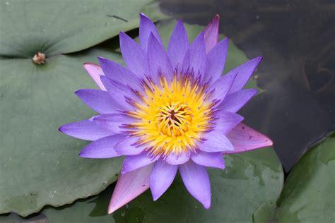lotus flower colors purple color lotus flower free stock photo domain