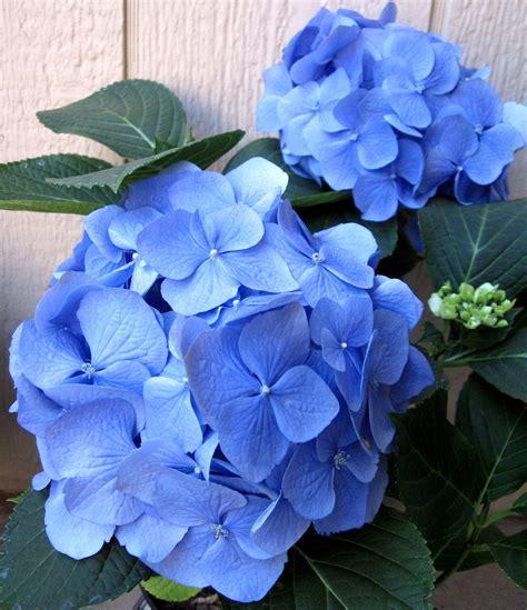 hydrangea flower flowers for flower lovers hydrangea flowers pictures