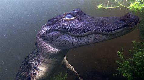 filming  underwater alligator bites gopro youtube
