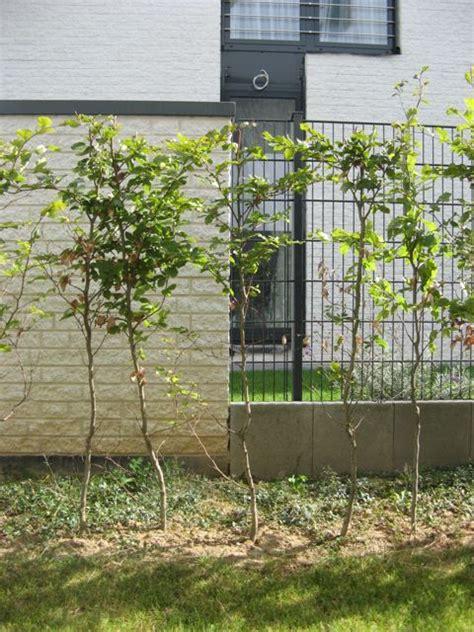 wann pflanzt obstbäume wann schneidet koniferen wann schneiden thuja