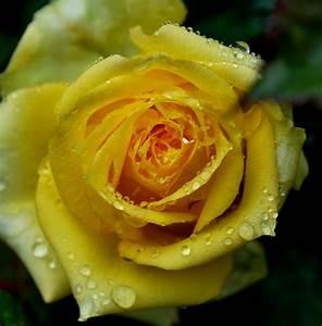 Gelbe Rose Bedeutung : gelbe rose foto bild pflanzen pilze flechten bl ten kleinpflanzen rosen bilder auf ~ Whattoseeinmadrid.com Haus und Dekorationen