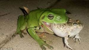 Lismore man photographs a green tree frog eating an ornate ...