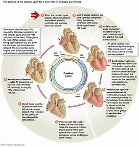 The Cardiovascular System  Lists The Stages Of Systole And