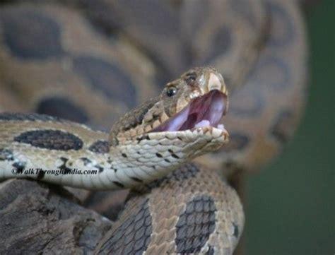 Die Besten 25+ Kobra Schlange Ideen Auf Pinterest Kobra