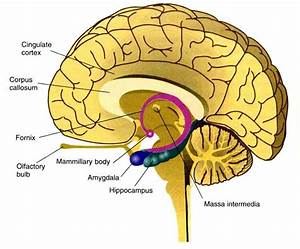 Spatial Relationships Between The Corpus Callosum