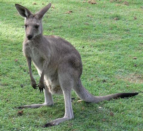Kangaroo Pictures Nice Kangaroo Picture #3976