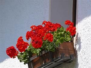 Pot De Fleur Rouge : images gratuites rouge g ranium pot de fleur fleuriste plante fleurs plante de balcon ~ Melissatoandfro.com Idées de Décoration