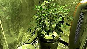 Og Bubba Kush Medical Cannabis Aeroponics 05