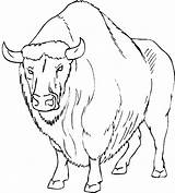 Buffalo Coloring Bison Pages Angry Head Printable American Water Template Getcoloringpages Native Sketch Bisons sketch template