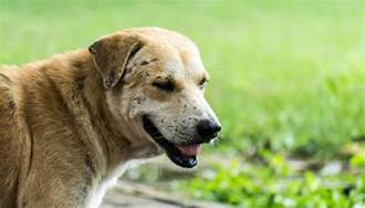 Systemic Lupus in Dogs