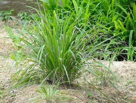 grass plant spotlight on spice how to grow lemongrass season with spice