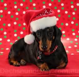 Merry Christmas Dachshund