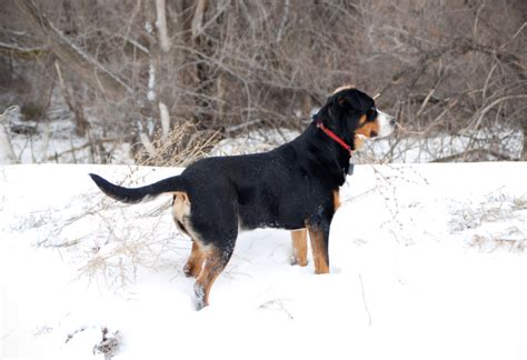 greater swiss mountain dog breed guide learn