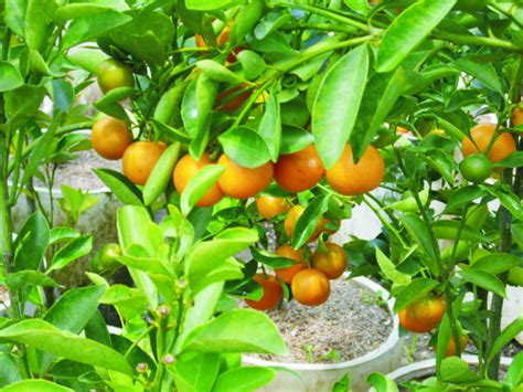 pohon buah sebagai tanaman hias tidak