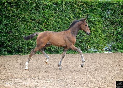 horse bolesworth young mr lot auction foal presents ever collection catalogue colt elite ramiro championship number1
