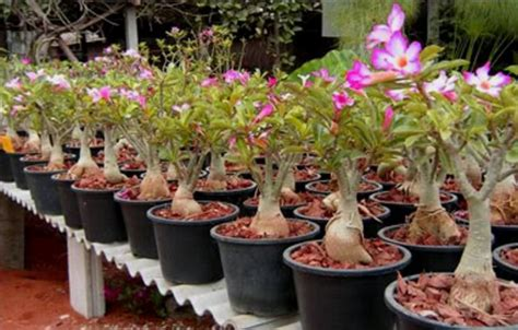 kamboja jepang adenium jual pohon adenium murah