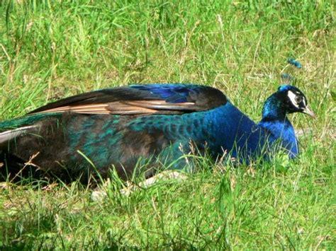 รูปภาพฟรี: สีฟ้า ชาย นกยูง